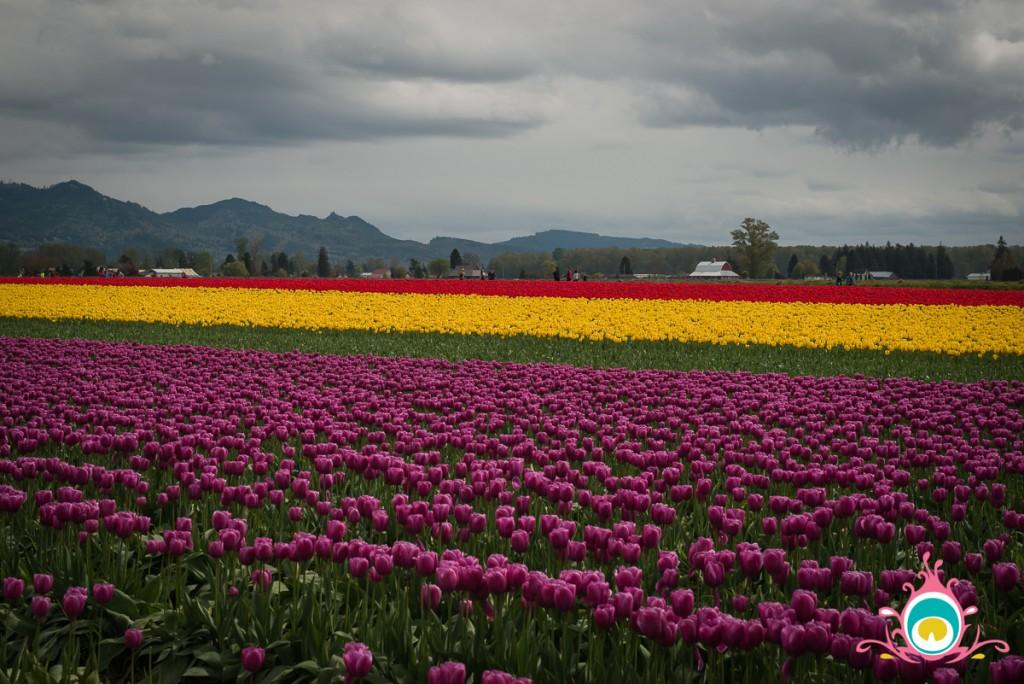 roozengaarde skagit valley tulip festival