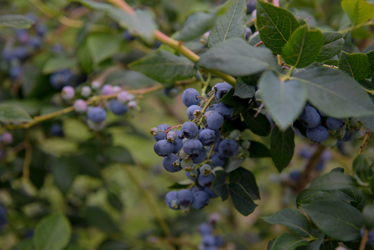 bc blueberries, didar farms