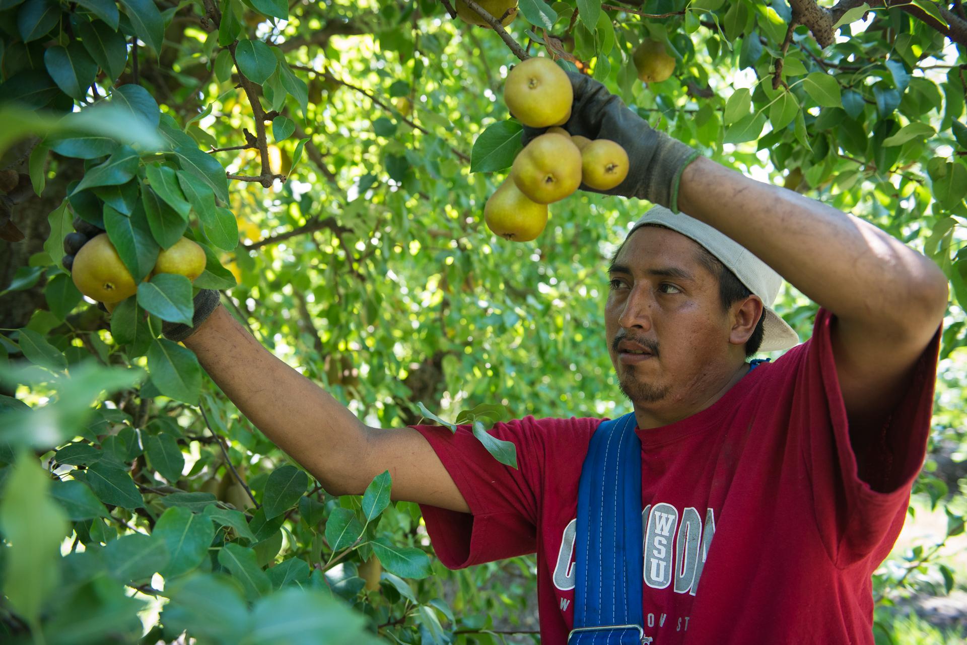 pear orchard sacramento delta