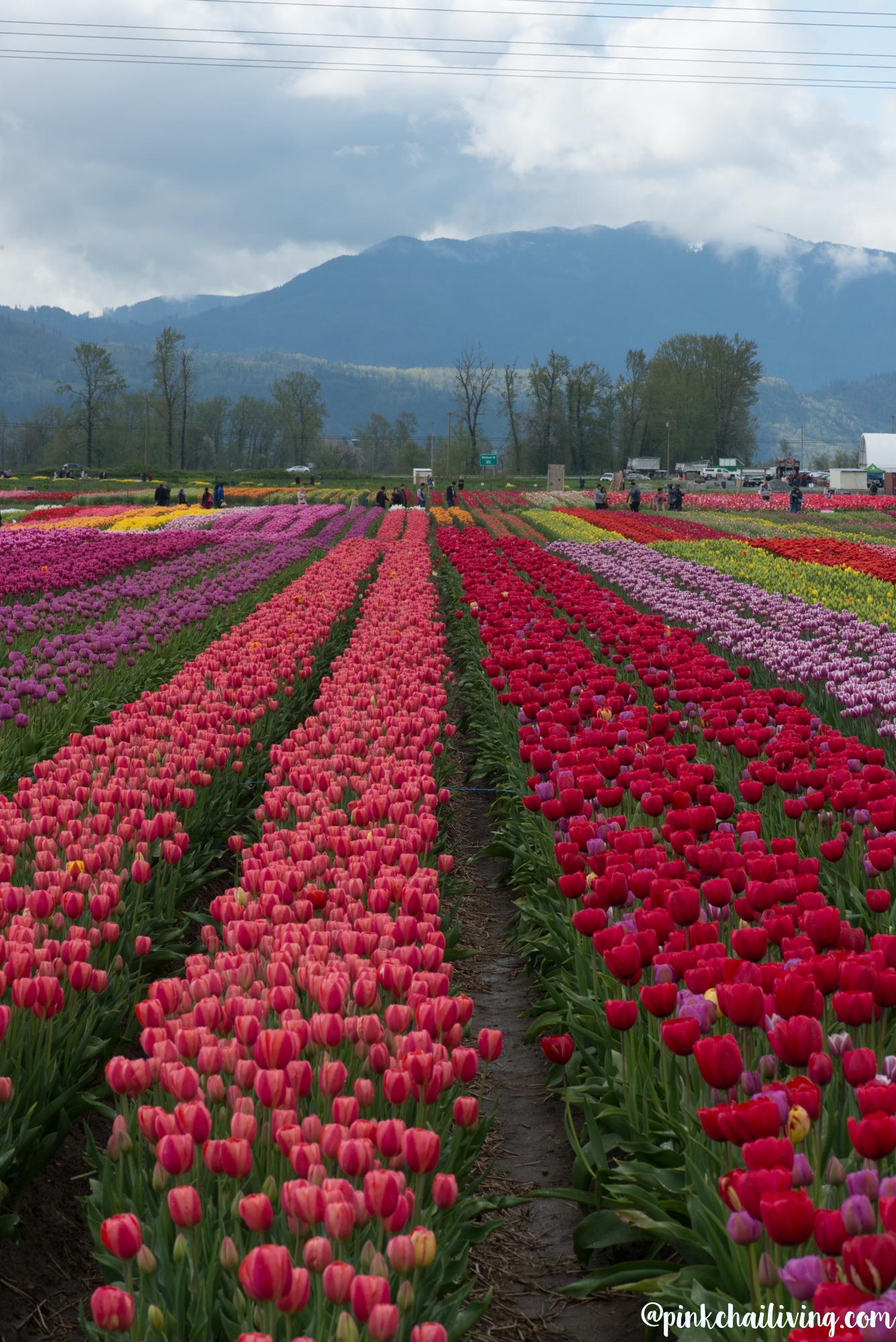 tulip festival 4